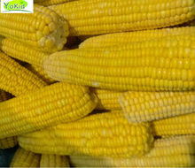 new crop chinese IQF& importers frozen sweet corn