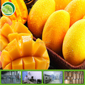 GMP factory mango seed powder