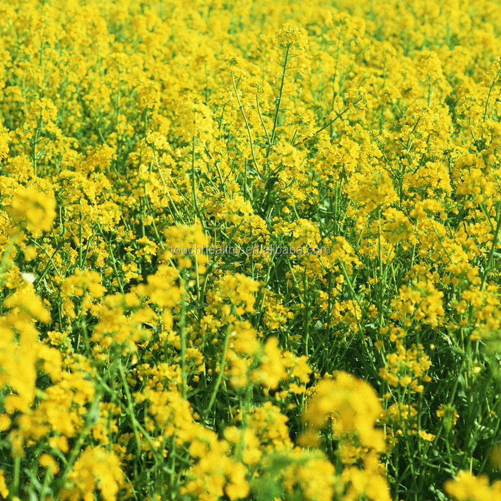Touchhealthy supply Stock quality Ornamental rape flower seeds/wholesale flower seeds THF030