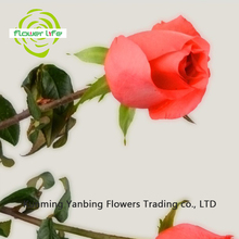 Pot Natural High Quality Long Stem Flower Rose Movie Star Fresh Cut Flower And Fresh Flower Rose Movie Star Garlands