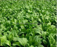 High Quality Chinese Fast Growing Spinach Seeds For Planting