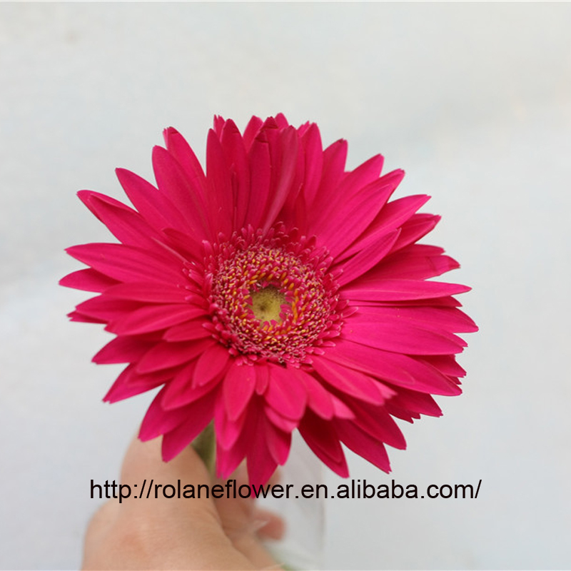 Professional export wedding flowers fresh cut marigold flowers golden sun gerbera with 0.8_1.2kg/bundle
