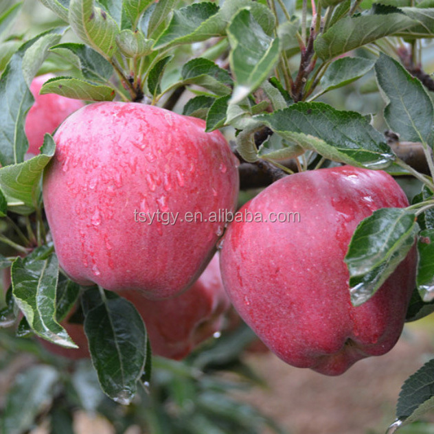 Chinese fresh apple fresh apple fruit for sale fresh apple fruit packing