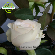 Oriental Wedding Rose White Rabbit Flower With 5-8cm Big Bud Dry Rose White Rabbit Petals For Birthday Decoration