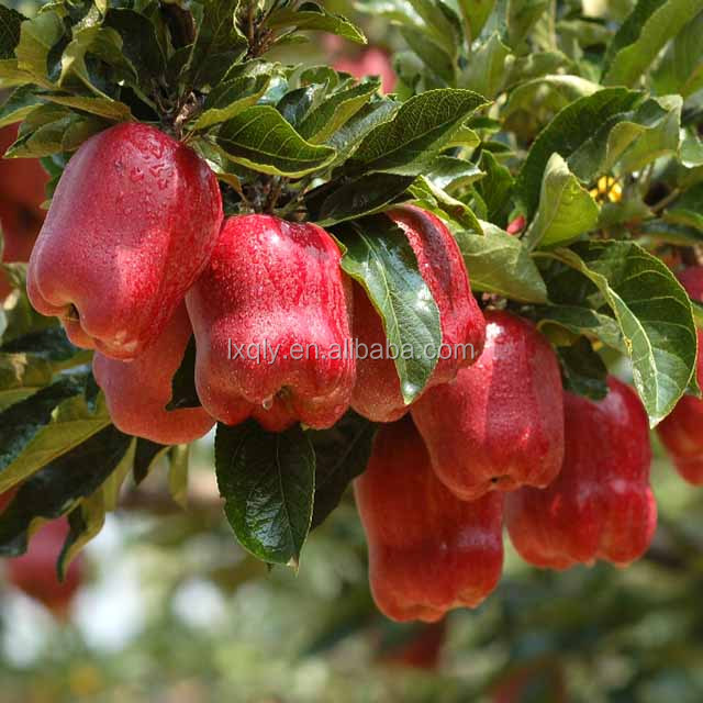 export fresh red delicious apple fruit fresh apple washington apples