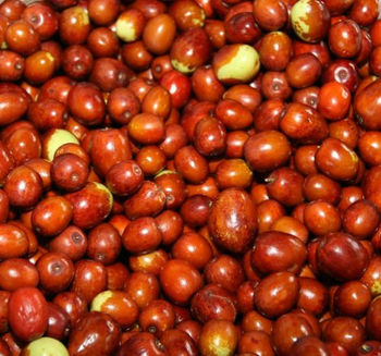Ziziphus jujuba, Jujube, Chinese Apple, Indian plum, and permseret