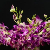 Factory unique fresh dendrobium orchids2016