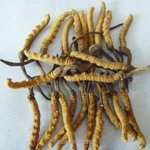 100% Natural Cordyceps Extract