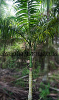 Beautiful King Palm tree for ornamental