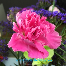 Fresh cut flowers with good quality and low price pink Carnation flower high grade wholesale from Yunnan China supplier