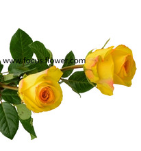 Fragrant aroma crazy selling from ecuador rolane fresh cut roses yellow crown with 20stems/bundle from Kunmming kenya roses