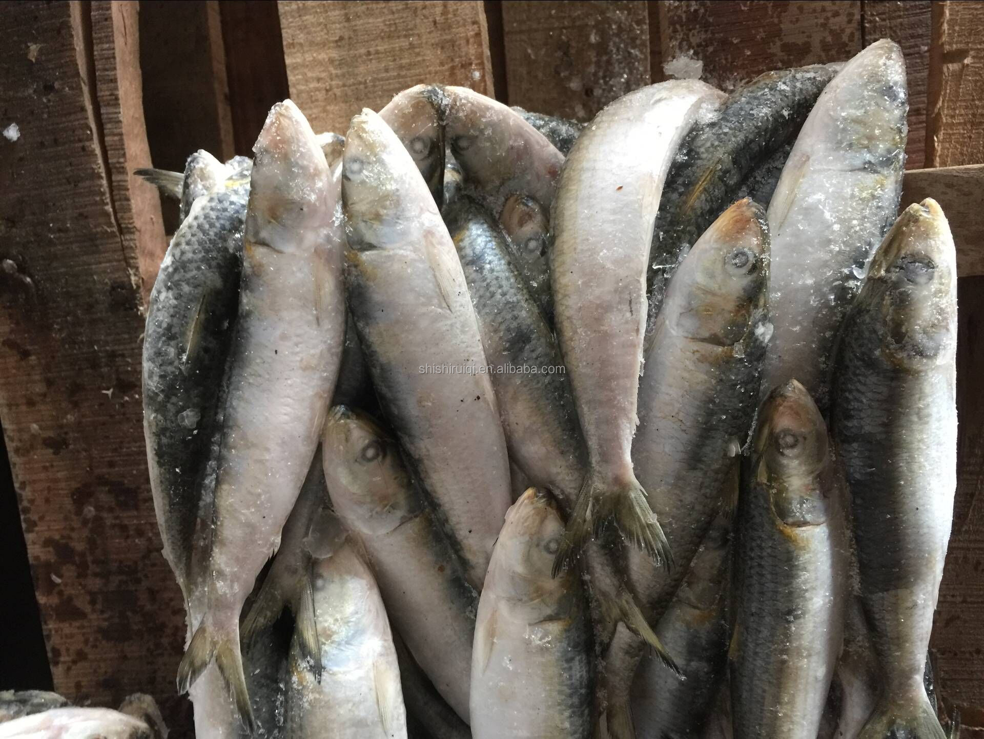 High quality long duration time frozen indian oil sardine of China