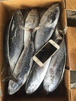 2016 high quality frozen whole round bonito tuna fish for sale