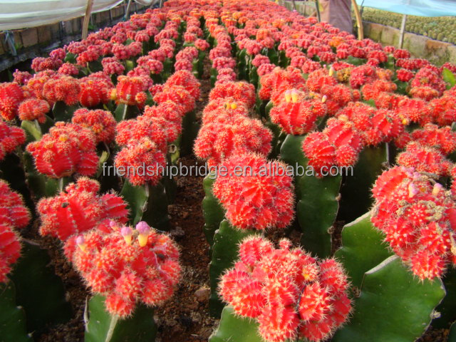 Live Ornamental Plants Export All Types of Cactus Plants