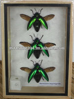 3 REAL Jewel Beetle Sternocera Aeguisignata Insect taxidermy in Box