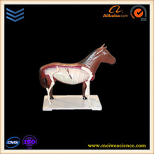 Horse skeleton teaching anatomical model for sale