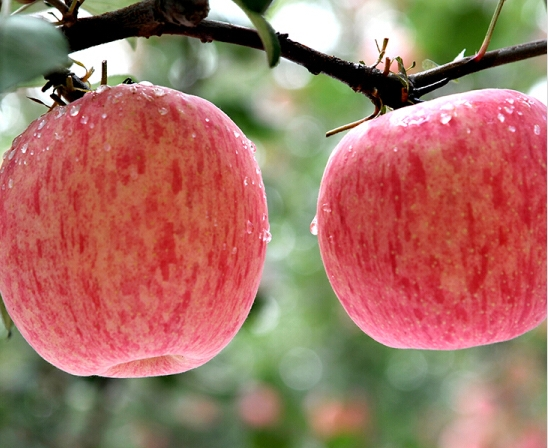 Good Quality Sweet Juicy Authentic China Red Fuji Apples