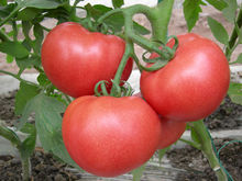 High Quality Fresh Tomato for Sale