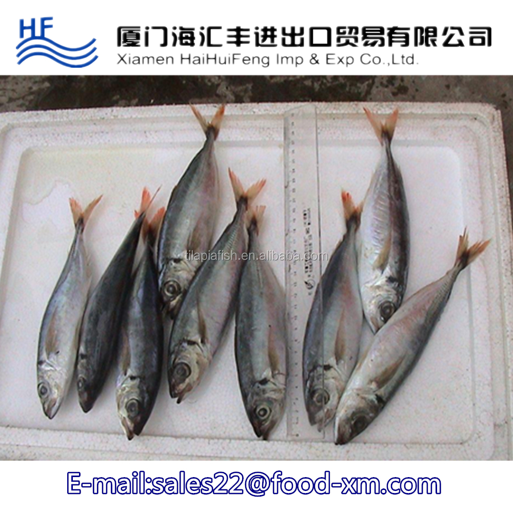 New arrival frozen live seafood horse mackerel fish wholesale for export