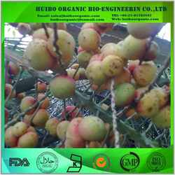 Saw Palmetto Extract Total fatty acid 45%