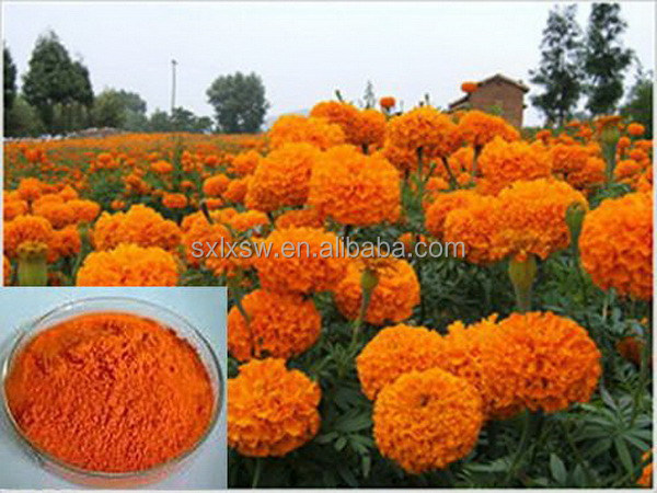 Excellent quality factory direct marigold extract for chickens