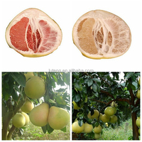 New crop fresh pomelo fresh vegetable and fruit