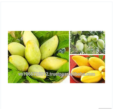 Fresh HOA LOC Mango fruit from Viet Nam grade A