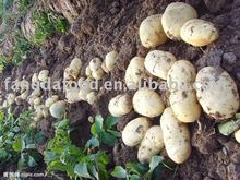 New crop fresh potato/chinese potatoes