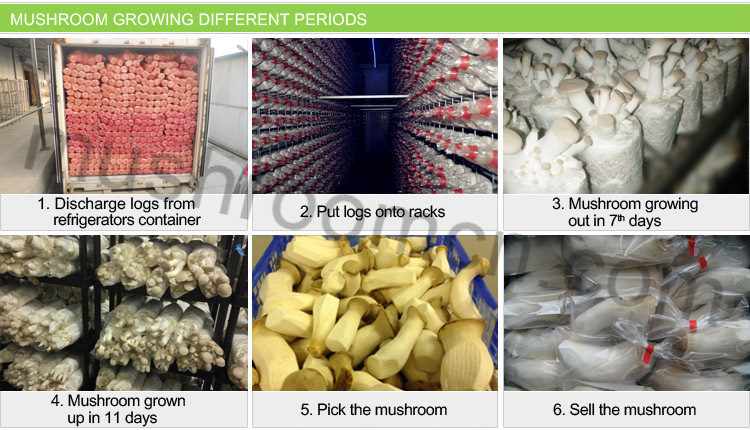 Easy Care Agricultural King Oyster Mushroom Farm Cultivating Mushroom