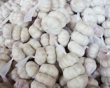 Fresh High Quality Natural Garlic for sale