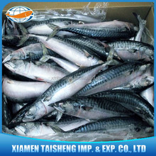Atlantic Mackerel Fish