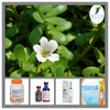 Pure Bacopa Extract,Bacopa monnieri Extract,Bacopa monnieri P.E.(Ratio:4:1~20:1)