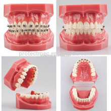 Protect orthodontics high quality dental teeth model/dental study teeth mold