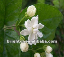 High quality Jasmine Tea Extract 40% Plyphenols