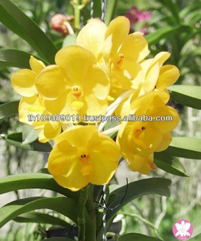Thailand Fresh Tropical Yellow Ascocenda Orchid Flowers