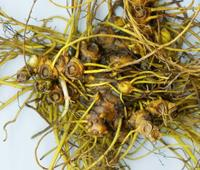 Excellent herbal materials dried whole goldenseal roots for Antibiotic and Cancer Fighter
