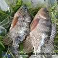 Fresh high quality frozen tilapia