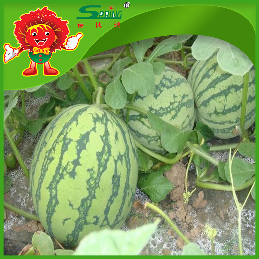 farm watermelon delicious melon in hot season melons