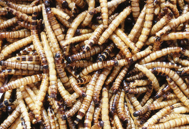 Dried Deep Superworms Sale --Mealworms Quality