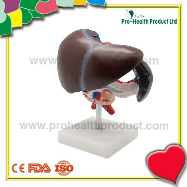 High Quality Duodenum Pancreatic Spleen Anatomy Science Educational Model
