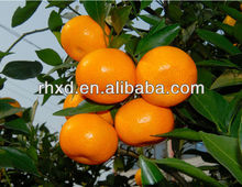 China chinese citrus yellow mandarin <strong>orange</strong> fruits