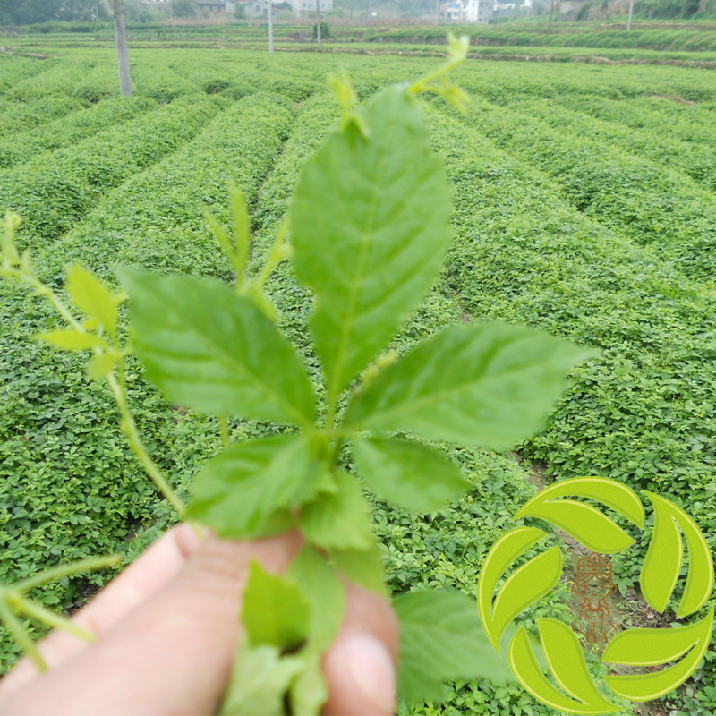 Organic chinese natural fresh dried herbs tea leaves detox tea herbal midicines dried jiao gu lan leaf