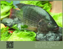 Tropical Fish Live Freshwater Black Tilapia Whole Round 10kg 200-300g