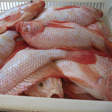 Live Fresh Red Tilapia Fish on Sale