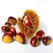 The best quailty chinese chestnut for sale