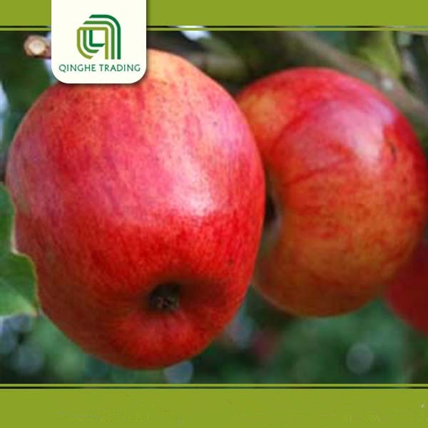 Hot selling dubai fruit market fresh delicious red star apple in China