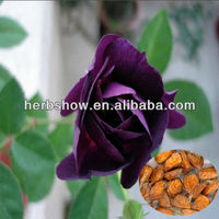 Purple Rose Flower seeds for Home and garden