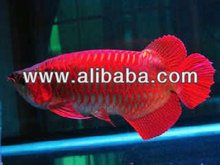 Asian Red Arowanas On Promotion**Starts 25/11/2012 And Ends 02/12/2012***Order Now