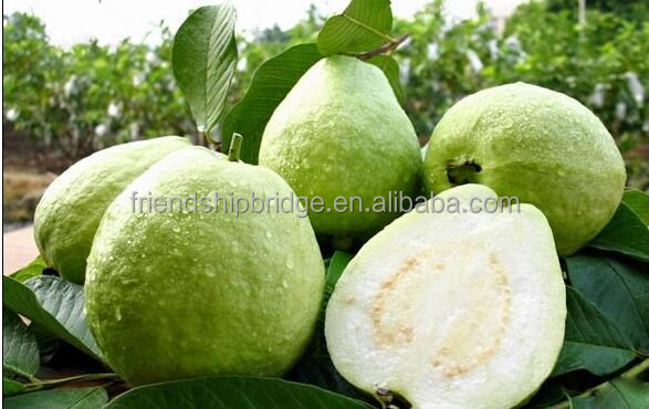 Guava Fruit Tree & Guava Plants