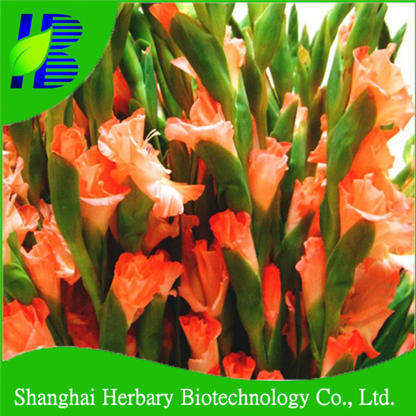 Hot sale gladiolus flower bulbs for cutting